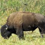 yellowstone-buffalo
