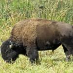 yellowstone-buffalo