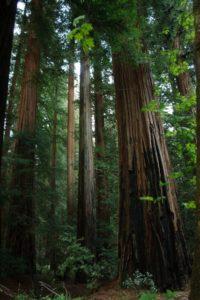 redwoods-classic