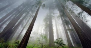 redwoods-horizontal